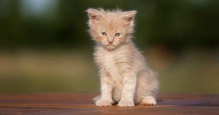 Elle achète un chaton Maine Coon sur Internet : peu après, le vétérinaire lui fait une annonce révoltante