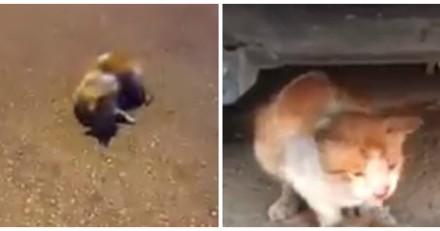 Cette maman chat qui refuse de laisser son chaton mort au milieu de la route va vous briser le cœur (Vidéo)