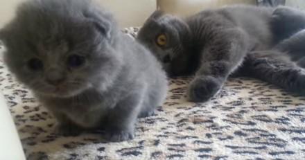 Cette chatte qui joue avec son chaton est la chose la plus mignonne de la journée (Vidéo du jour)