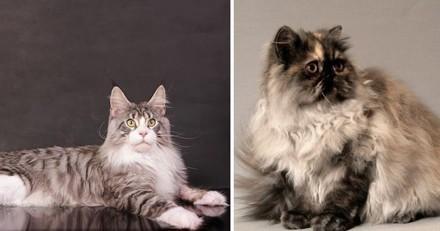 Top 10 des races de chats les plus adaptées à la vie en appartement