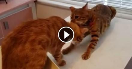 Un chat héroïque veut tout tenter pour sauver son ami… de chez le vétérinaire ! (Vidéo du jour)
