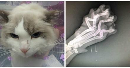 Le vétérinaire fait passer des radios à un chat : quand il voit les clichés il sait que la police doit s'en mêler