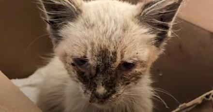 Chaton complètement négligé : 2 mois plus tard, il est totalement méconnaissable et ses yeux sont incroyables !