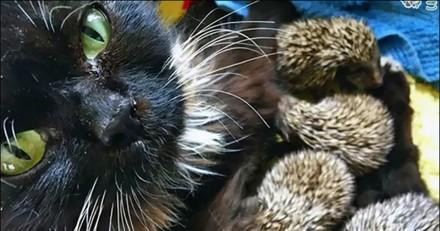 Incroyable ! Une maman chat adopte des petits hérissons et c'est trop mignon (Vidéo)