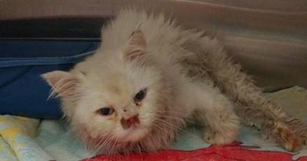 Sauvée alors qu'elle allait être euthanasiée, cette chatte s'est totalement métamorphosée