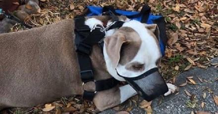 Elle découvre un Pitbull abandonné dans son jardin : le petit mot laissé à côté lui met les larmes aux yeux