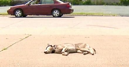Un chien est allongé sans vie en plein soleil : un homme se précipite vers lui et c'est le choc