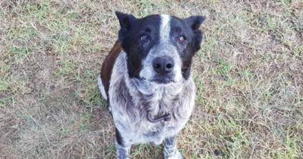 Aveugle et sourd, ce chien a sauvé une fillette de 3 ans