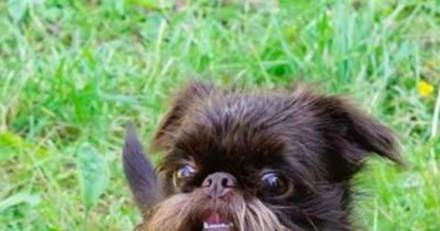 Ce chien a une immense barbe et tout le monde le prend pour un vieillard