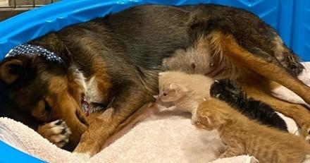 Le Berger allemand perd ses bébés : quand les chatons l'approchent, tout le monde a les larmes aux yeux