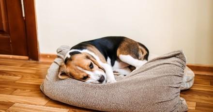 Acheté sur Le Bon Coin, un chiot Beagle a été battu à mort : la raison est ignoble et glaçante