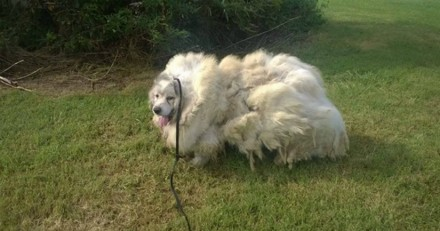 Ce chien négligé pendant des années est totalement méconnaissable avec 16 kilos de poils en moins