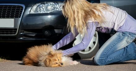 Chien ou chat blessé : comment l'approcher, le sécuriser et l'évacuer