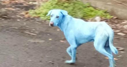 Des chiens bleus provoquent la colère en Inde (Vidéo)