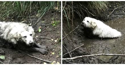 Ce « chiot » géant prisonnier de la boue a été sauvé, mais pas par un humain !
