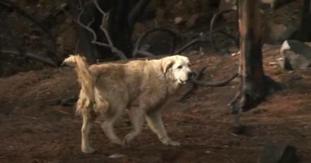 Ce chien a attendu sa maîtresse pendant un mois au milieu des cendres