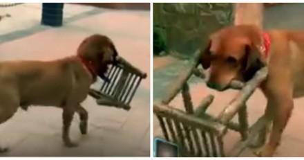 Ce chien transporte tous les jours une chaise pour une raison qui a bouleversé le monde entier