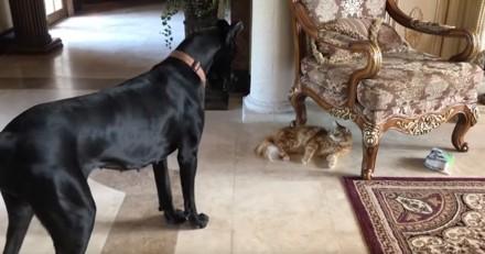 Ce grand chien s'est fait voler son jouet par un chat et n'ose pas le reprendre : c'est à mourir de rire (Vidéo du jour) !