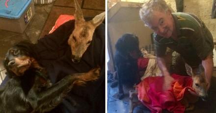 Sa chienne sauve la vie d'un chevreuil embourbé dans le lit d'une rivière !