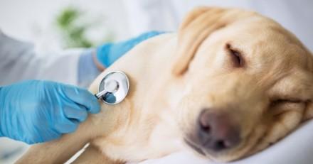 Une chienne sauvée par un rein donné par son chiot