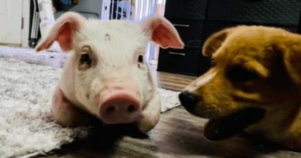 Cette amitié insolite entre un chien handicapé et un porcinet va vous faire craquer