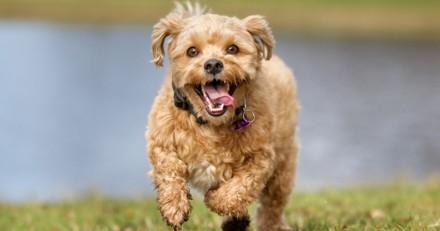QUIZZ : Devinerez-vous les races de ces chiens ?