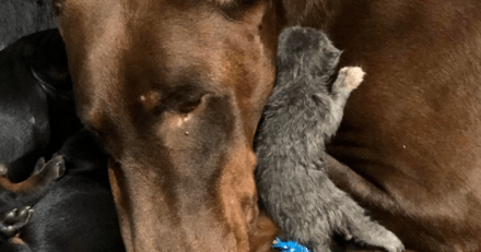 Elle ramène un chaton abandonné à la maison, la réaction de sa Dobermann Pinscher est bluffante
