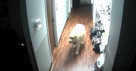 Ce chien s'évade de sa pension, ce que filme la caméra de surveillance fait sourire tout le monde (Vidéo)