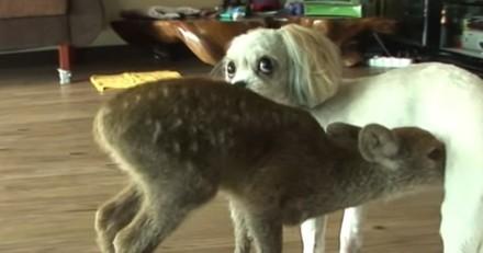 Le faon s'approche du chien : quelques minutes après, tout le monde pleure ! (Vidéo)