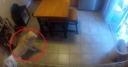 Il filme son chien pendant son absence, ce qu'il découvre le fait mourir de rire (Vidéo)