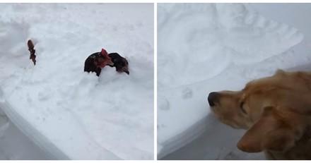Il voit son chien se précipiter vers des poules coincées dans la neige et n'en revient pas (Vidéo du jour)