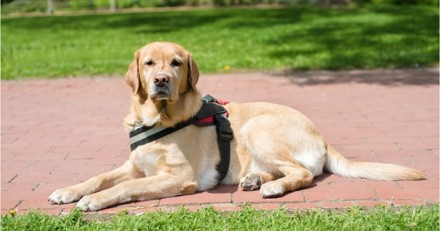 83% des épisodes hypoglycémiques repérés par les chiens détecteurs de diabète