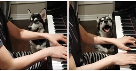 Ce Husky chante pour accompagner son maître au piano, et c'est plutôt bien (Vidéo du jour)
