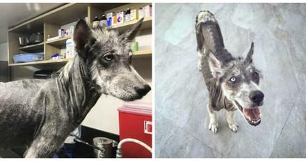 En 8 mois, ce Husky s'est totalement transformé et c'est difficile de croire que c'est le même chien