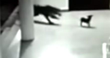 Ce chien affronte un léopard pour sauver son chiot (Vidéo)