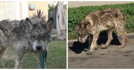 Un loup dans les rues : un bénévole le capture, lui donne un bain et comprend son énorme erreur !