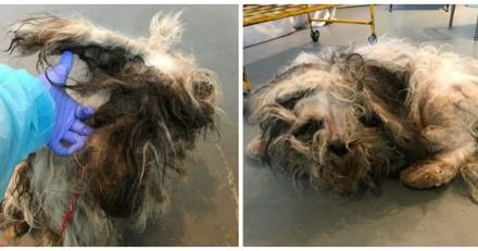 Ils prennent en charge un chien dans un état terrible et comprennent en le rasant qu'ils se sont trompés