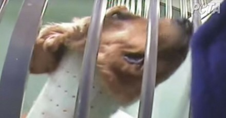 Téléthon : 1 an après la vidéo choc des chiens de laboratoire, où en est-on ?