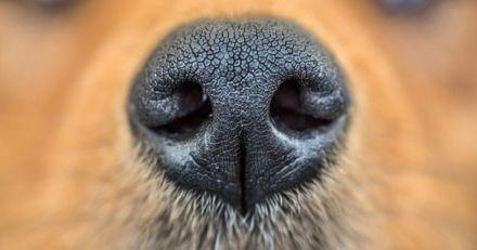 """Dépistage du Covid-19 : les résultats """"bluffants"""" des chiens renifleurs français"""