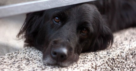 Labrador dans un refuge : il pleure chaque nuit à cause de ce qu'il s'est passé le jour de son 11e anniversaire