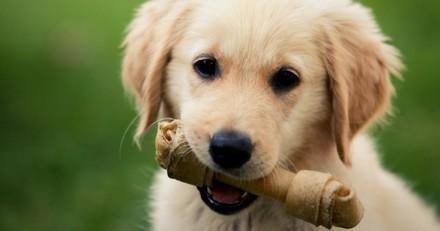 Pourquoi les chiens enterrent leurs os ?