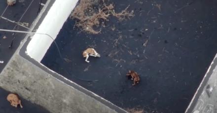 Volcan Cumbre Vieja : des chiens affamés et amaigris alimentés par drones