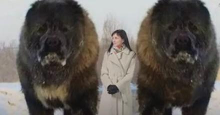 Ces 7 chiens sont les plus grands du monde et ils sont gigantesques ! (Vidéo)