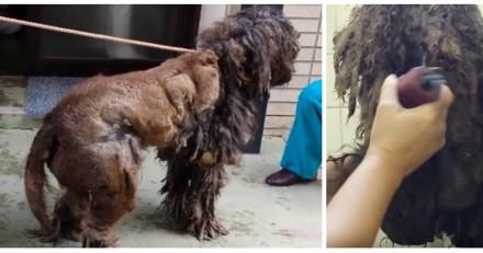 Ce chien était si négligé que personne ne pouvait deviner sa race, mais une fois rasé c'est le choc (Vidéo)