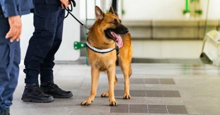 Aéroport de Mexico : le chien s'approche d'une boite en carton, la police passe à l'action