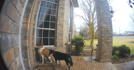 La caméra cachée filme des chiens en train de sonner à la porte pour qu'on leur ouvre (Vidéo)