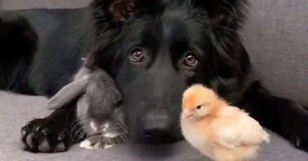 Le trio le plus insolite du monde animal : un chien, un lapin et un poussin amoureux (Vidéo)