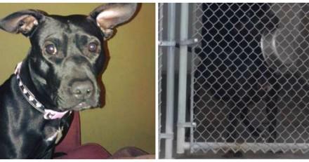Un refuge lui prend sa chienne et menace de l'euthanasier pour une raison révoltante