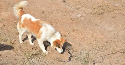 Quel risque si mon chien se fait mordre par une vipère ?