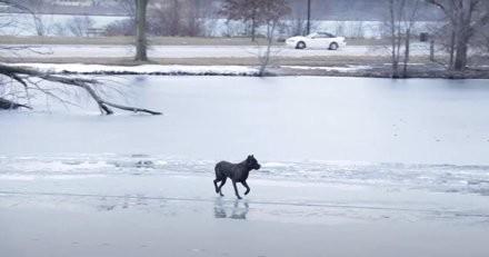 Coincé au milieu d'un lac gelé, ce chien panique à la vue des sauveteurs et se met en grave danger (vidéo)
